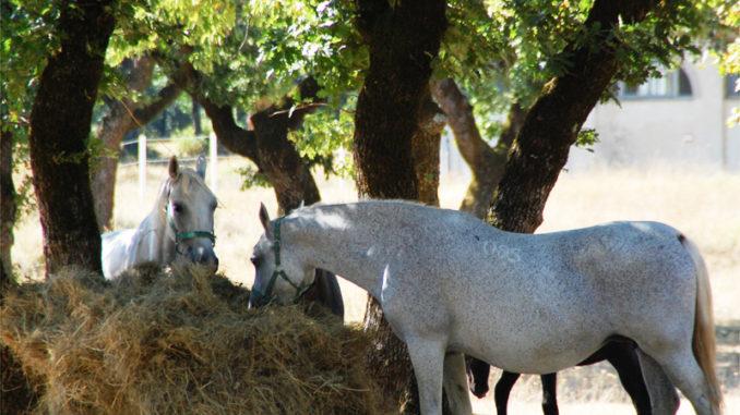 Cavalli bianchi di Lipizza